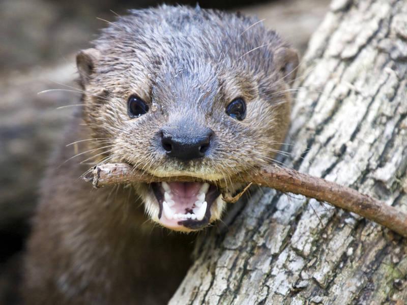 Otter_shutterstock-1520443407-2927